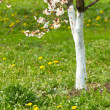 Blossom cherry tree - Stock Photo