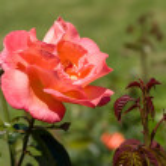 Beautiful rose — Stock Photo #9161890