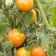 Unripe tomatoes — Stock Photo #9161938