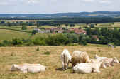 Landscape with Cows — Stock Photo