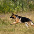 Runing sheepdog — Foto Stock