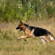 Runing sheepdog — Stockfoto