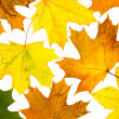 Maple leaves — Stock Photo #9273990