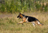 Runing sheepdog — Stock Photo