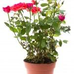 Beautiful rose in flowerpot — Stock Photo #9465055