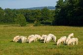 Landskap med kor i bourgogne — Stockfoto