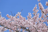 Cherry tree — Stock Photo