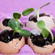 Stock Photo: Green seedlings growing out of soil in egg shells
