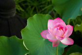 Beautiful fuchsia Lotus — Stock Photo