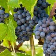 Clusters of Grapes — Stock Photo