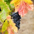 Cluster of California Zinfandel Grapes - 图库照片