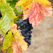 Cluster of California Zinfandel Grapes - Stok fotoğraf