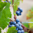 Cluster of California Zinfandel Grapes - Stock Photo