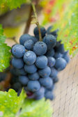 Cluster of California Zinfandel Grapes — Stock Photo