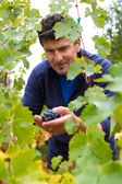 Man picking grapes from his vineyard — Stock Photo