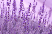 Lavender Plants — Stock Photo