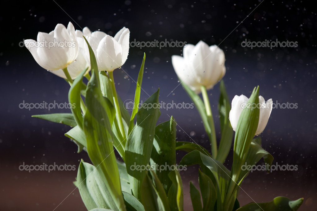 White Tulips with rain drops on the petals and sun shining through  with rain drops on the petals and sun shining through it — Stock Photo #8969658