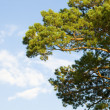 Coniferous a tree - Stock Photo