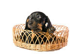Dog in a basket — Stock Photo