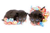 Two fluffy little kitten — Stock Photo