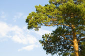 Coniferous a tree — Stock Photo
