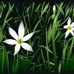 fleur de Malaisie — Vecteur