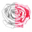 Stock Vector: Hand draw sketch ink and watercolor rose