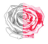 Hand draw sketch ink and watercolor rose — Stock Vector