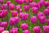 Beautiful red tulips on a green background — Stock Photo