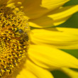 Bee on sunflower collects nectar — Foto de Stock