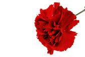 Red flowe carnation — Stock Photo