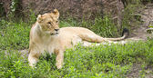 Lion in search of prey in the green meadow — Stock Photo