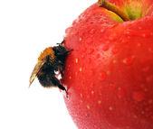 Abeille et pomme rouge — Photo