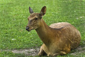 Lone doe deer in the grass — Stock Photo