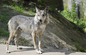 Grey Wolf Forest nurse — Stock Photo