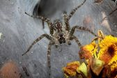 Funnel web spider — Stock Photo