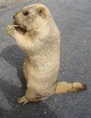 Groundhog ( woodchuk) — Stock Photo