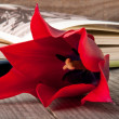 Red tulip against the backdrop of an open book — Stock Photo