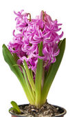 Pink Hyacinth on a white background — Stock Photo