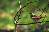 Female of a sparrow — Stock Photo