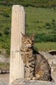 Turkish cat — Stock Photo