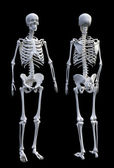 Human skeleton — Stockfoto