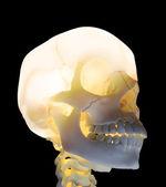 Parlayan kafatası - sağlık anatomy görüntü — Stok fotoğraf