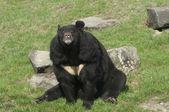 Himálajský medvěd — Stock fotografie
