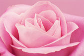 Pink rose macro. — Stock Photo