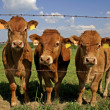 Herd of curious cows — Stock Photo