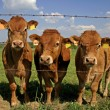Stock Photo: Herd of curious cows