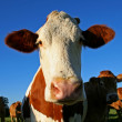 Stock Photo: Funny eared cow