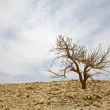 Bare tree in desert landscape in the dead sea region — Stock Photo #8044909