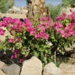 Stock Photo: Bougainvillaeflower bed red seegypt